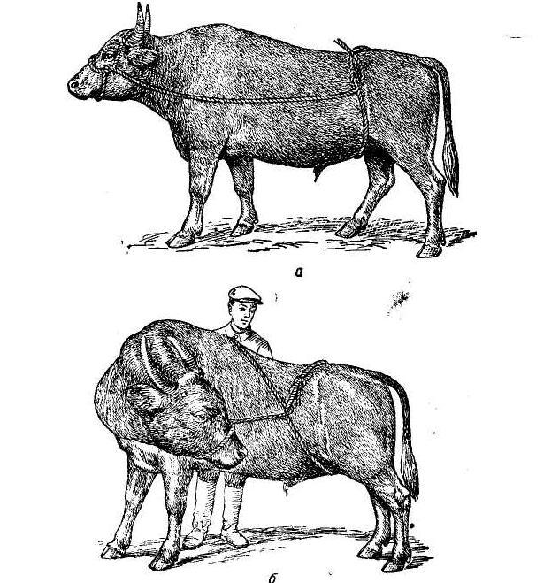 Чтобы не было пореза у коров что надо делать