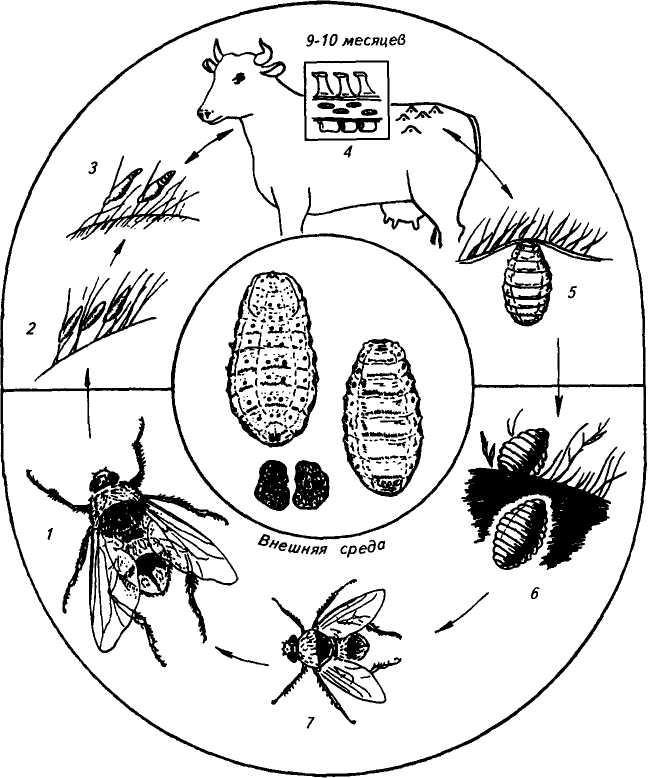 эвкалиптовая чистка от паразитов