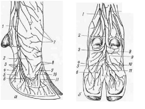 Часть стопы между путовым суставом и копыта сколько стоит операция на коленном суставе в краснодаре