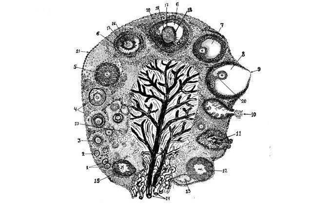 Схема фоликулогенеза
