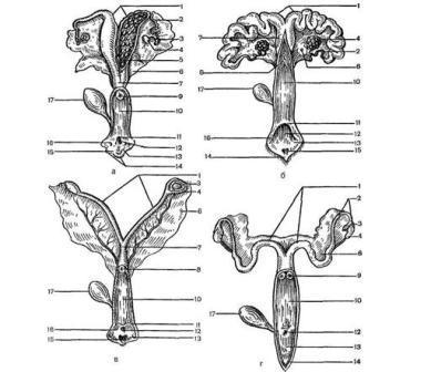 половые органы самок животных